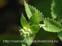 Лечебные свойства мяты перечной