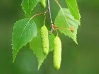 Применение листьев березы