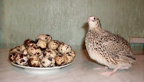 Домашние яйца перепелки