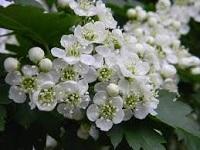 Лечебные свойства цветков боярышника