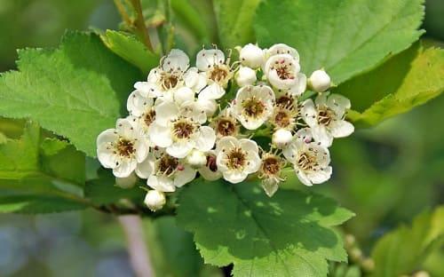 Цветы и плоды боярышника