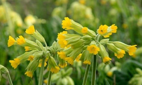 Первоцвет весенний от кашля