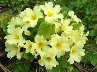 Первоцвет весенний свойства и применение